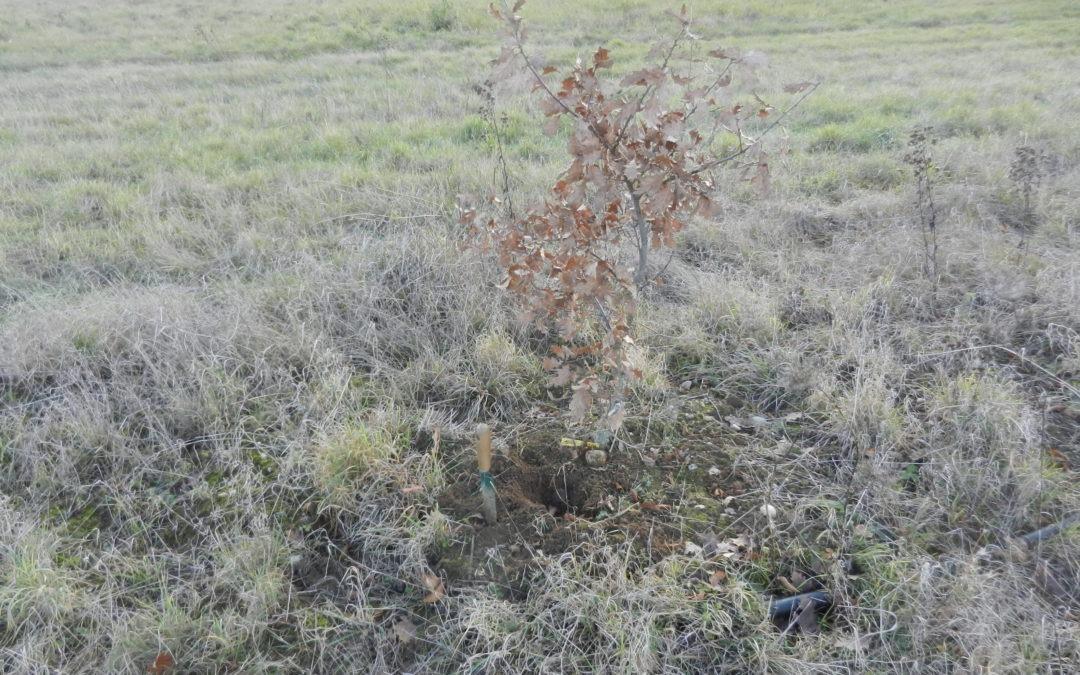 Et sous un petit chêne, une truffe mélano !